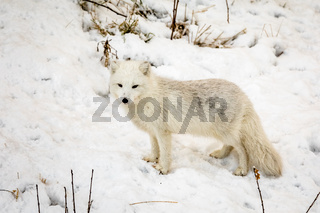 Arctic fox with winter fur, standing on snow.