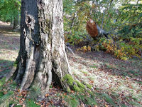 Sturmschaden im Buchenwald im Herbst