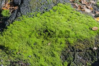 Natur Moos als Hintergrund und Textur