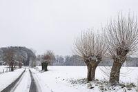 Weg mit Kopfweiden (Salix)
