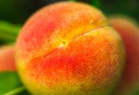 apricot closeup on a branch