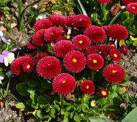 Gaensebluemchen; Bellis perennis; Tasso rot; Zuchtfort; Zierform;