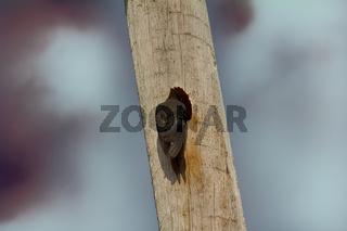 Black woodpecker hollows hollow