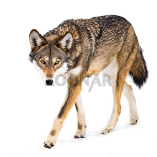 Red Wolf in Snow VIII