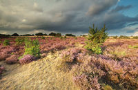 flowering heather and stormy sky