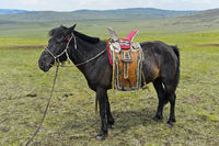 Aufgezäumtes Pferd eines Nomaden mit traditionellem Sattel in der Steppe, Mongolei