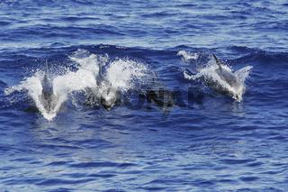Grosse Tuemmler, Bottlenose Dolphins