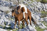 Ponies im Karstgebiet