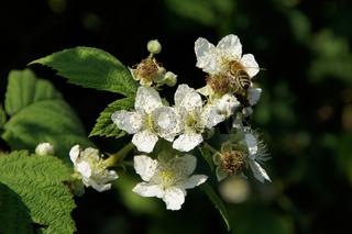 Rubus idaeus, Himbeere, Raspberry