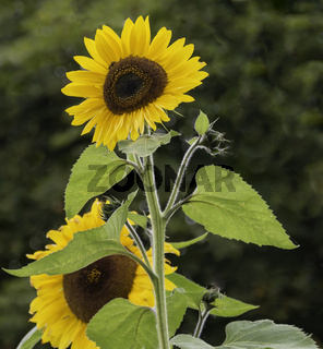 Schöne Sonnenblume (Helianthus annuus)