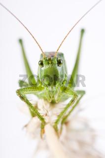 Grünes Heupferd auf einer Getreide Ähre (Tettigonia viridissima) - great green bush cricket (Tettigonia viridissima)