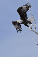 der Abflug... Weisskopfseeadler *Haliaeetus leucocephalus* wildlife