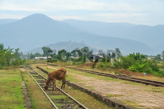Cow grazing on a disused train station
