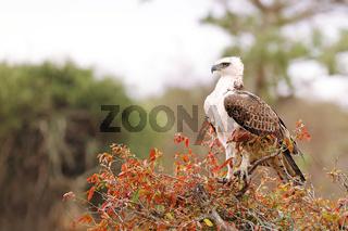 Junger Kampfadler, Kruger Nationalpark, Südafrika, young martial eagle, Kruger NP, South Africa