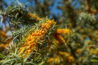 Ein Sanddornbusch im Sonnenlicht voller reifer Beeren.