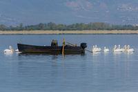 Krauskopf Pelikan, Pelecanus crispus, Dalmatian Pelican Lake Kerkini