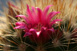 Kaktusblüte 5