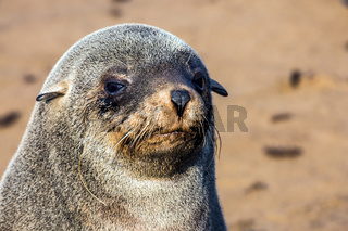 Fur seal basking in the autumn sun.