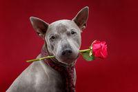 beautiful thai ridgeback dog in tie holding rose flower
