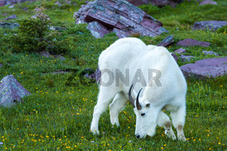 mountain goat in agreen alpine meadow, Glacier National Park, Mo