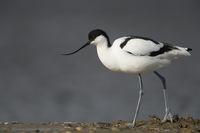 im Profil... Säbelschnäbler *Recurvirostra avosetta*