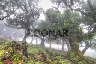 Ancient laurisilva trees in the fog