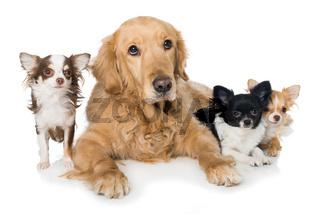 Retriever mit Chihuahuas