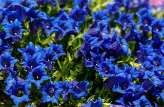 Trumpet gentiana blue flower in spring garden