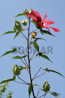 Flower of hibiscus (Hibiscus coccineus