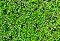 buxus fence texture