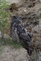 Jäger der Nacht... Europäischer Uhu *Bubo bubo*im Tageseinstand beobachtet aufmerksam die Umgebung