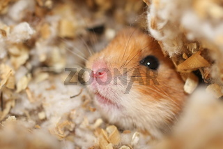 Curious Hamster