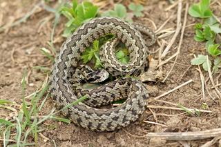 vipera ursinii rakosiensis on habitat ( the rarest european snake