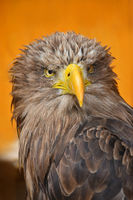 Close up front portrait of white tailed eagle