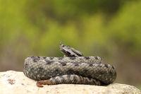large dangerous nose horned viper basking on a rock ( Vipera ammodytes )