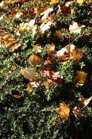 Herbstblätter auf dem Strauch