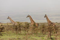 Wild giraffes in Serengeti national park, Tanzania
