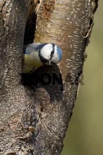 Blaumeise in der Baumhöhle