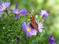 Butterfly on aster flowers