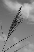 Reed stalk.