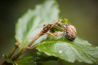 Araneus diadematus auf Erlenblatt