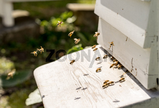 Close up of bees flying in and Out of their hives