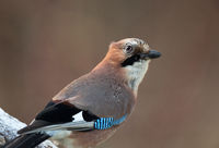 Portrait of Eurasian Jays (Garrulus glandarius)