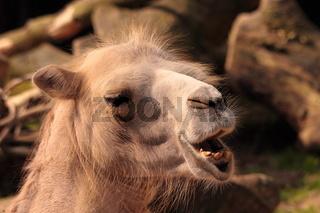 trampeltier portrait - camelus ferus bactrianus