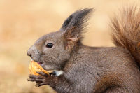 cute hungry european red squirrel eating walnut ( Sciurus vulgaris