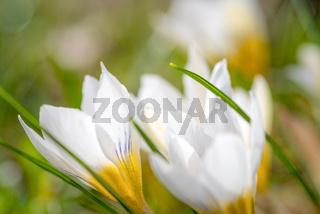 Frühlingsbote Krokus