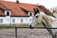 horse on a paddock on a farm in eastern Poland