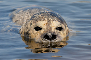 Seehund (Phoca vitulina) - European Common Seal
