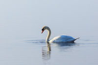 Mute swan with water dribble from its beak