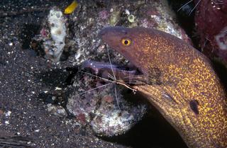 Rußkopfmuräne  (Gymnothorax flavimarginatus)